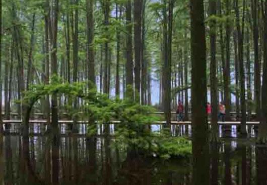 里下河风情图片:迎宾杉